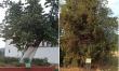 Σήμανση της υπεραιωνόβιας τιλιάς και του δάσους δενδρόκεδρων σε Άγιο Πέτρο και Άστρος
